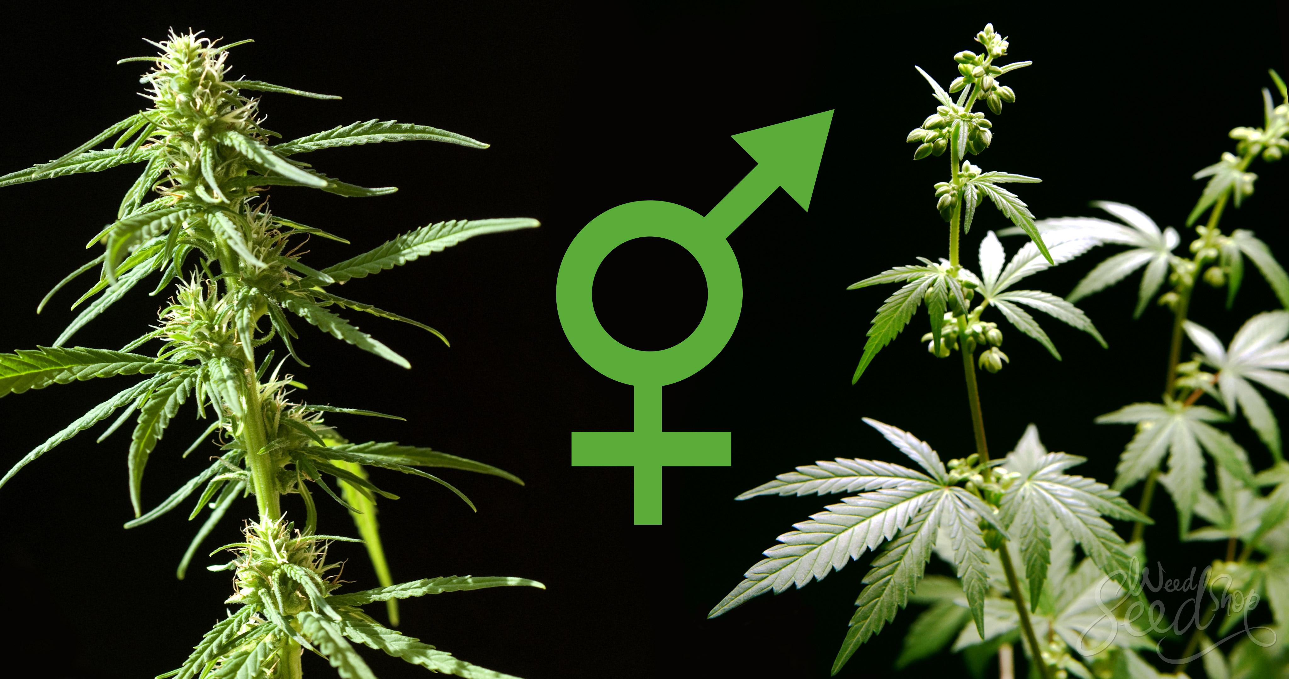Растение определить конопли женское в липецке конопля