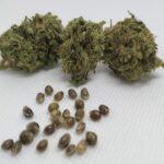 Les meilleures graines de CBD